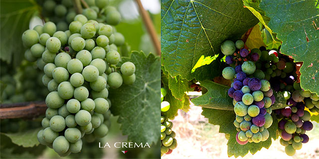"""Véraison (veh-ray-zohN.) is a French viticulture term meaning """"the onset of grape ripening."""" And is signified by the change in color of grape berries . It's one of my favorite times of year, as the vineyards begin to explode with fruit color."""