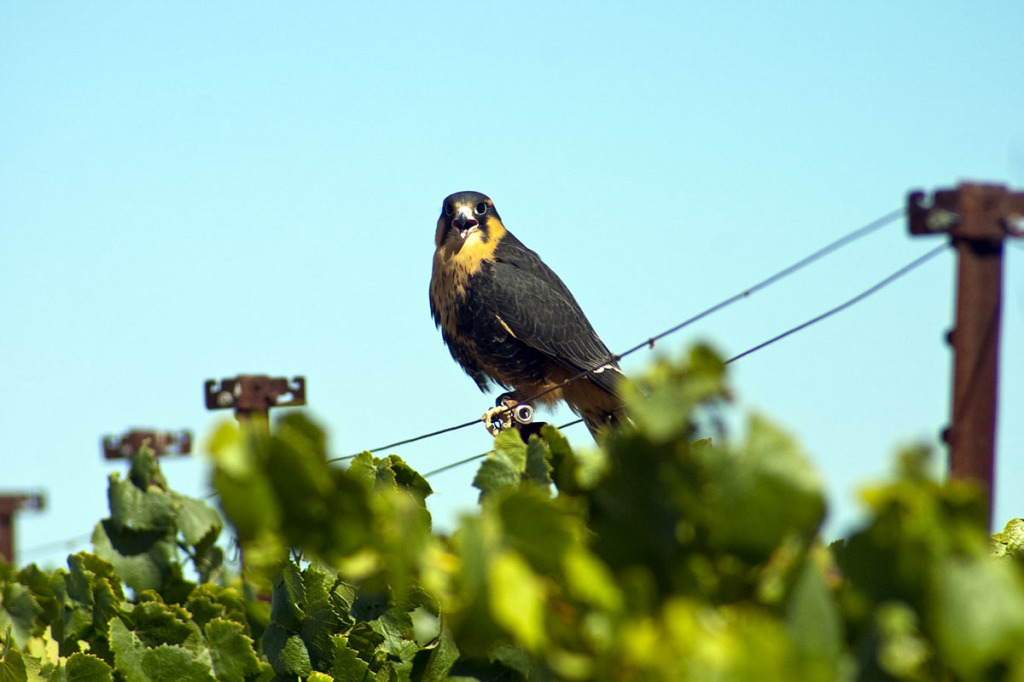 A falcon surveys the vineyard: A frightening sight for would-be grape thieves like starlings.