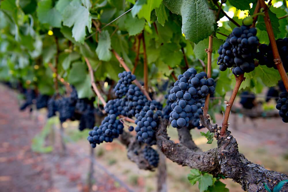 Pinot Noir grapes at Saralee's Vineyard