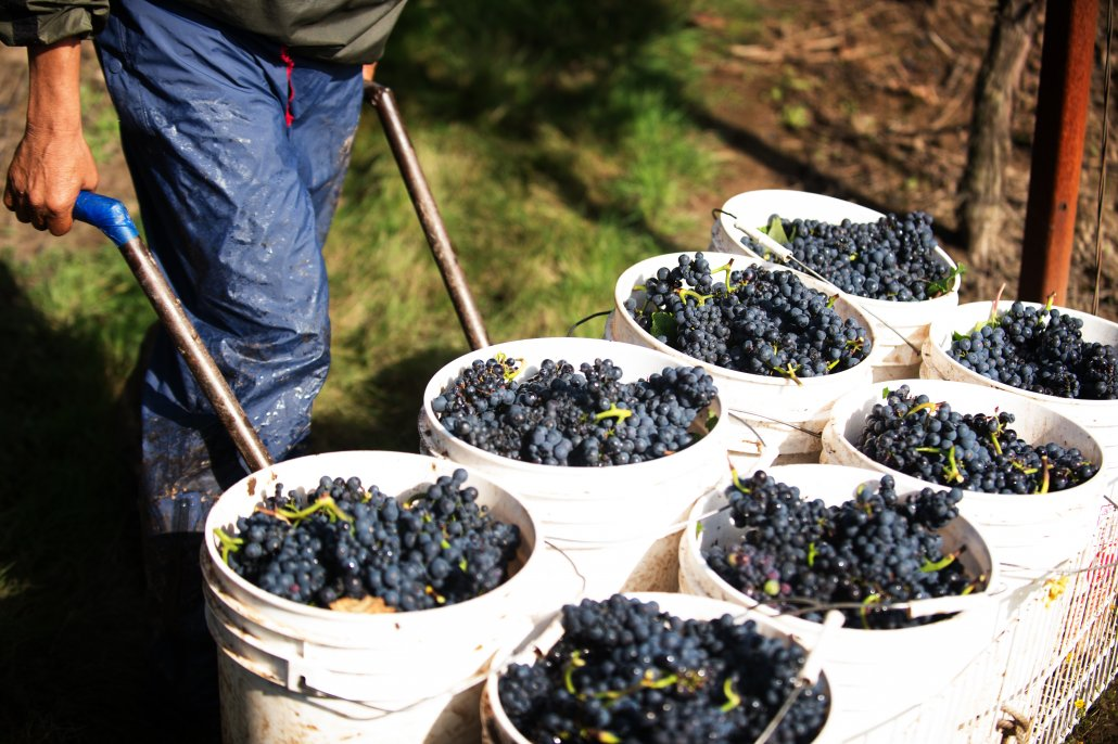 Certified Sustainable Pinot Noir Grapes