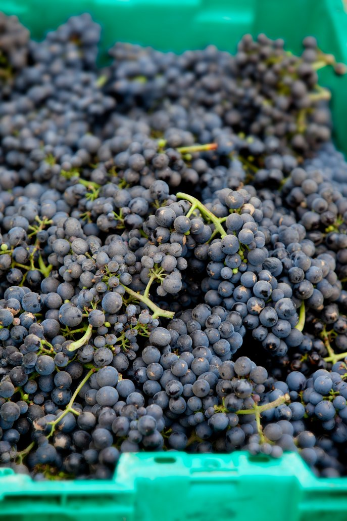 Pinot Noir in Harvest Bins