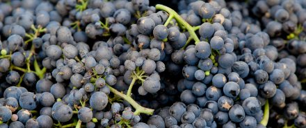 The Complete Guide to Pinot Noir Grapes hero image